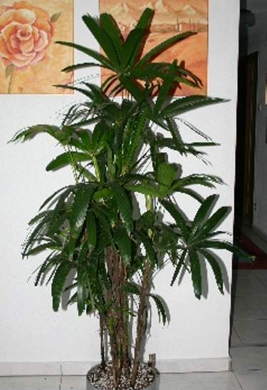 Rhapis excelsa (stick palm) in MAISAN completely planted pot Ø32cm height140cm