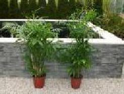 Chamaedorea Seifrizii Bambuspalme Topf 24cm Hohe 120cm