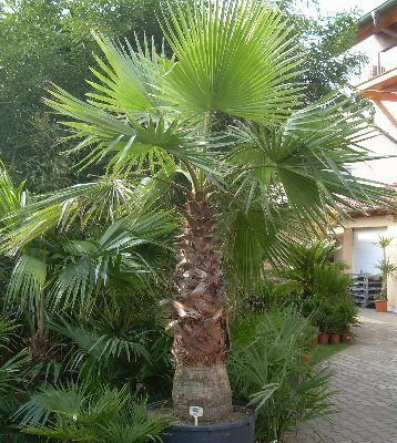 Washingtonia filifera (Priesterpalme) TopfØ95cm Höhe360-400cm